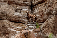 Mountain Goat and Babies - Grand Canyon NP